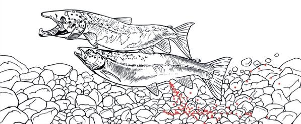 Le saumon, grand migrateur