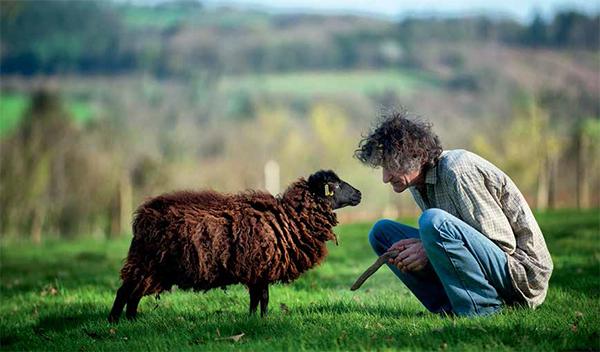 Le mouton d'Ouessant, patrimoine vivant