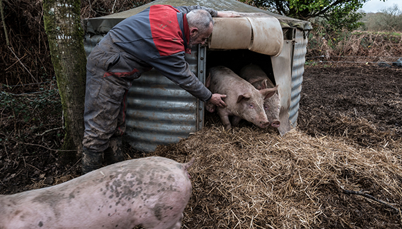 La vie en rose des cochons de Kervilavel